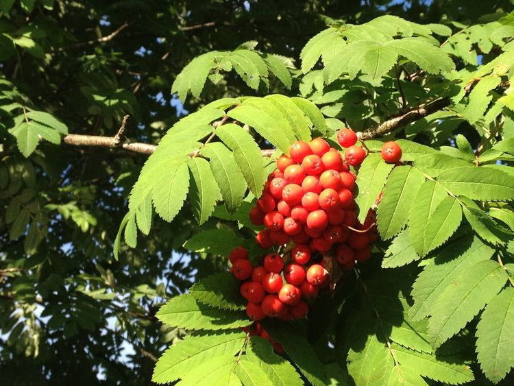 Rowanberry Beauty In Nature Close-up Green Color Leaf Nature Outdoors Red Tree