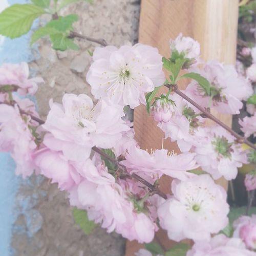 ветка цветы весна сакура Flowers Spring Sacura