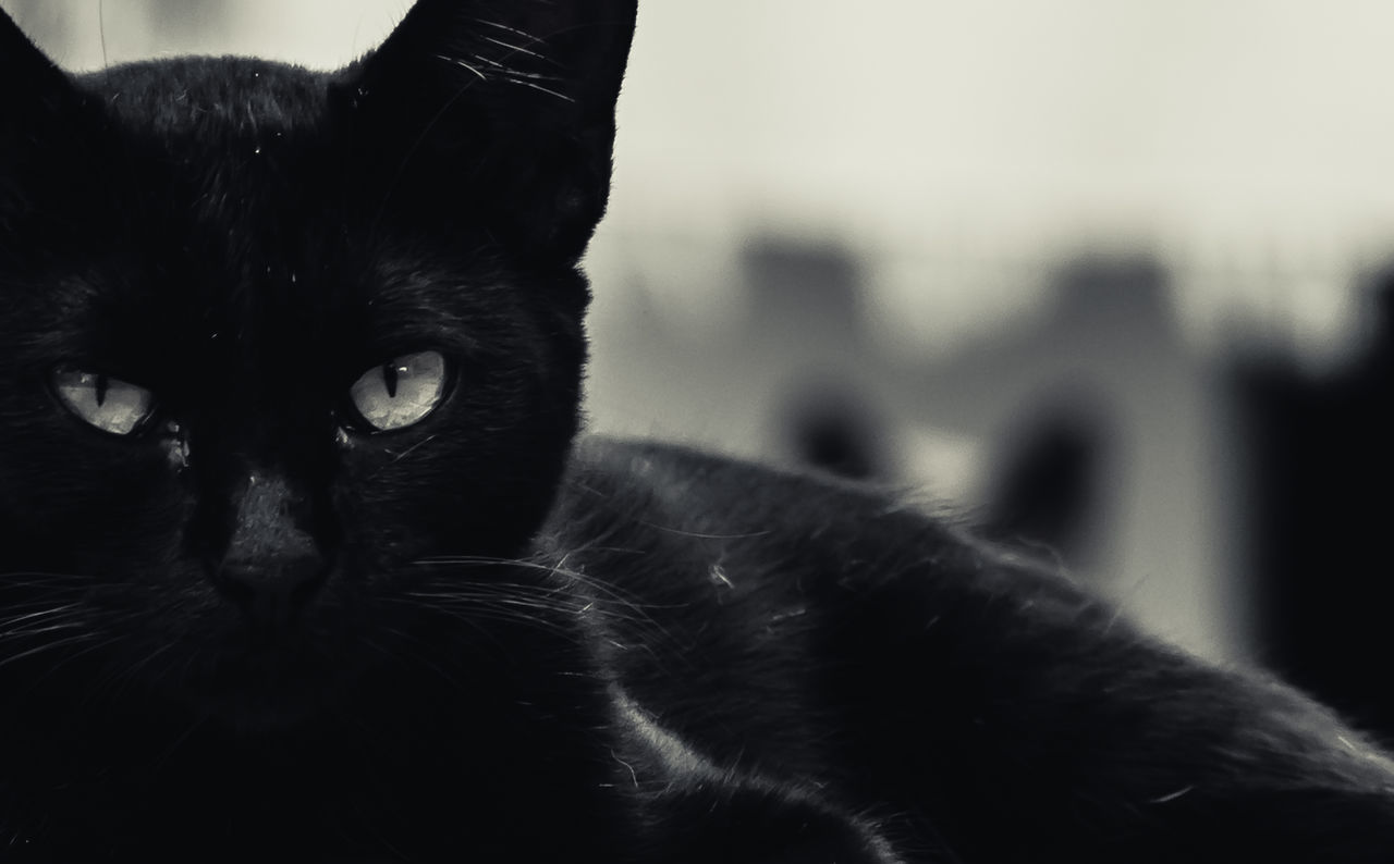 CLOSE-UP PORTRAIT OF A BLACK CAT