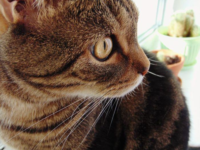 кот котэ лапа пупсик няша глаза  шотландец прелесть Cat Eyes