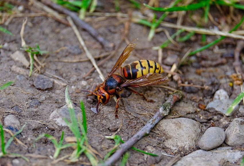 Hornet Wasp Animal Themes Animal Animal Wildlife One Animal Animals In The Wild Invertebrate Insect Close-up Nature Selective Focus Animal Wing Outdoors Focus On Foreground