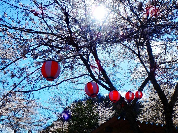 Spring has came. A cherry tree is in full bloom. Cherry Tree Festival InJapan Clear Sky Sunny☀ Low Angle View Day No People Outdoors