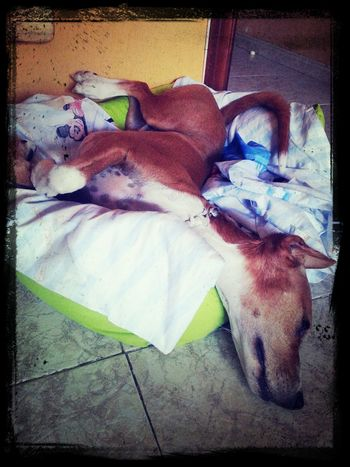 Bruce en modo Chof Animals Animales Perros  Dogs