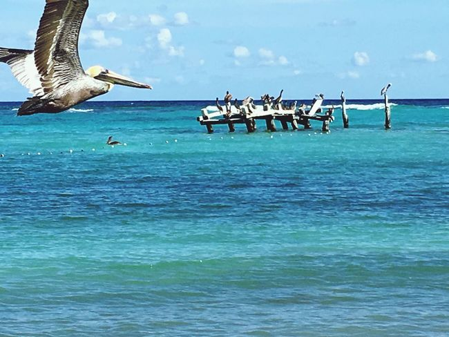 Pelícanos Pelicans Caribbean Sea Animal Themes Flying Water Animal Wildlife Spread Wings Sky Nature Outdoors Pelican No People Beauty In Nature Large Group Of Animals Beach Tranquil Scene Xpu-ha
