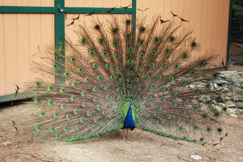 Animal Themes Animal Wildlife Beauty In Nature Bird Close-up Fanned Out Feather  GarLyn Zoo Nature No People One Animal Outdoors Peacock Peacock Feather