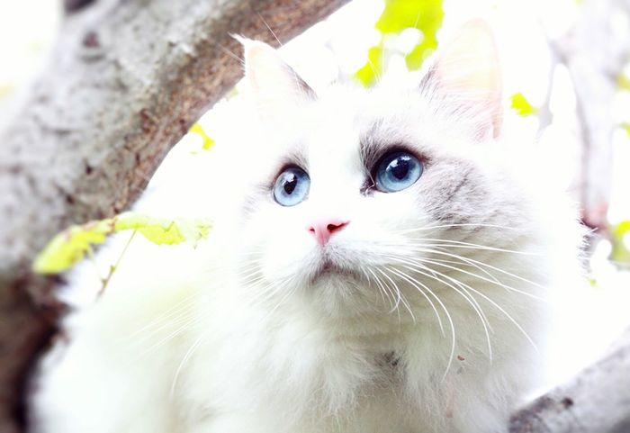 Domestic Cat Pets Domestic Animals Whisker Mammal Ragdoll Feline Blueeyedcat Cat In The Greenery Cat On The Tree Cat Outdoors Blue Eyes Ragdoll Cat Highkey Foggy Close-up Animal Themes One Animal No People Portrait Persian Cat  Outdoors Day