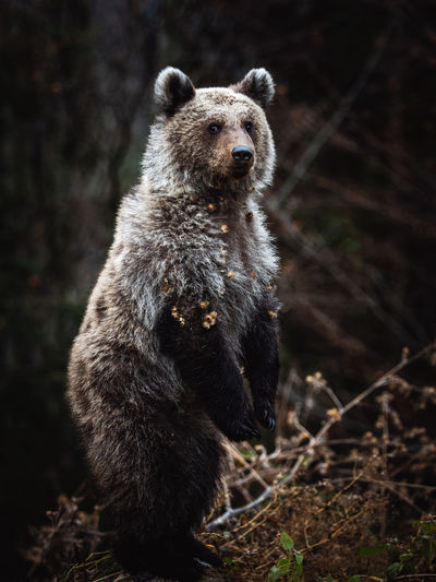 Portrait of bear on land