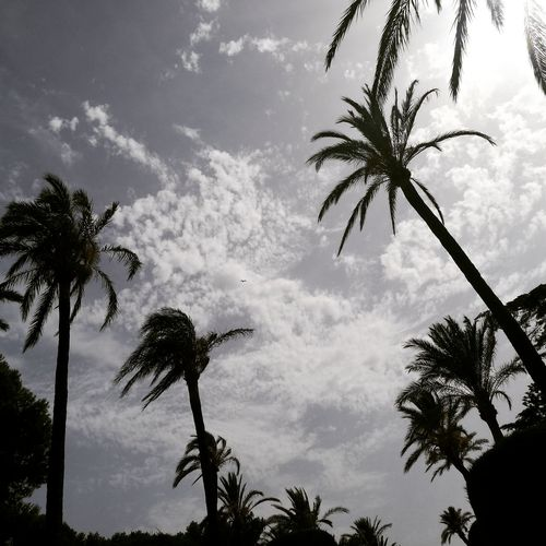 Cadiz Palm Tree