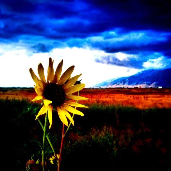 Utah Ogden Stormsbrewing Sunflowers🌻 Hello World First Eyeem Photo