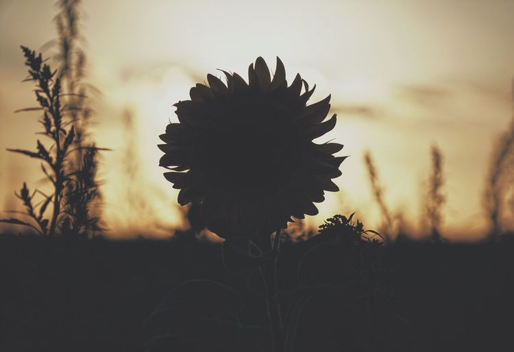 Close-up of silhouette sunflower blooming on field against sky