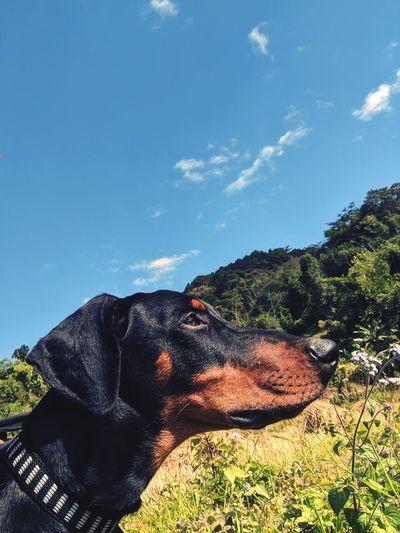 dog Dog #doberman Capture Tomorrow Tree Pets Sky Dog Lead Boxer - Dog Sticking Out Tongue Pet Collar Protruding Leopard Panting Animal Tongue