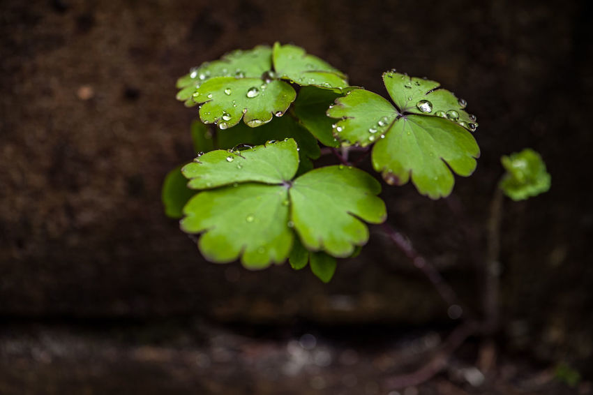 Growth Plant Leaf Plant Part Close-up Day No People Selective Focus Focus On Foreground Nature Beauty In Nature Green Color Outdoors Freshness Drop High Angle View Aquilegia Rain Rainy Days