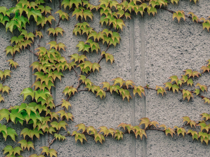 Architecture Autumn Close-up Concrete Wall Creeper Creeper Plant Day Flower Growth Ivy Leaf Nature No People Outdoors Plant Vine - Plant
