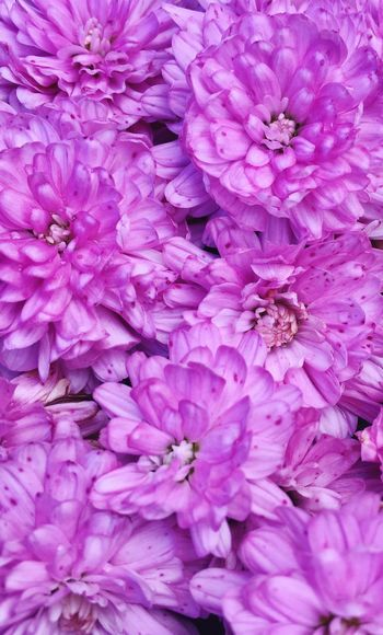 Detail shot of pink hydrangea flowers