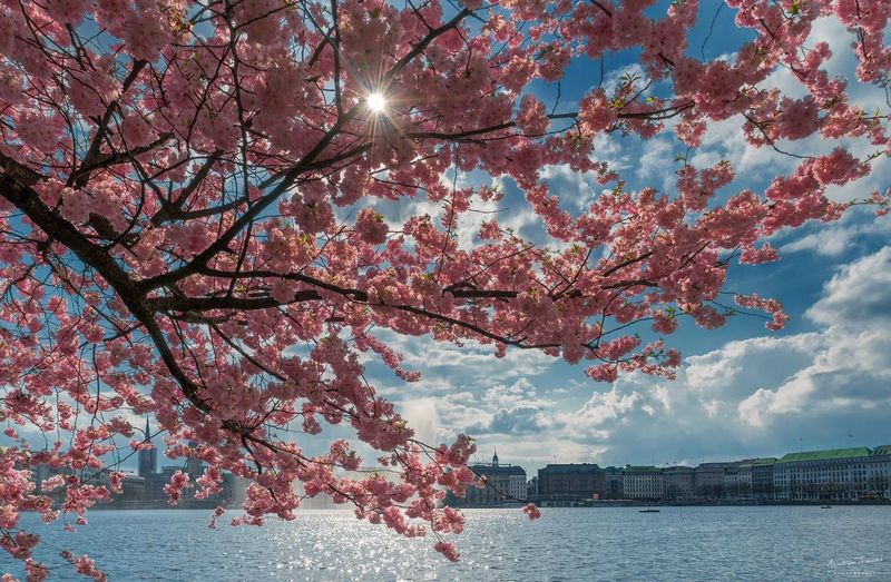 Pink cherry tree in city against sky