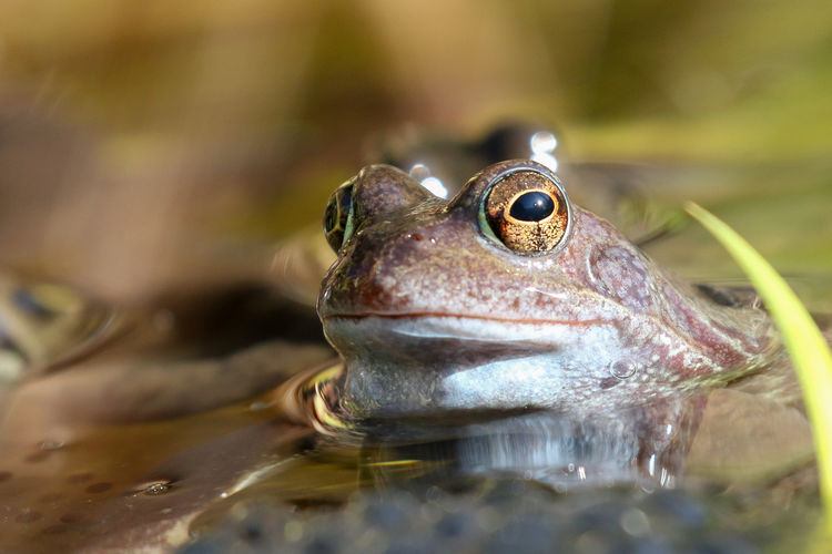 Frog Animal Animal Themes One Animal Animal Wildlife Frog Close-up Amphibian Animals In The Wild Vertebrate Water Selective Focus No People Day Nature Animal Body Part Reptile Outdoors Swimming Animal Head  Animal Eye