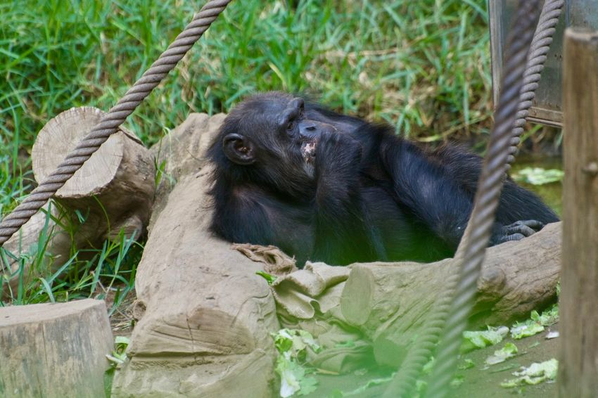 Animals In The Wild Animal Animal Photography Animal Themes Animal Wildlife Animals Animals In The Wild Ape Day Mammal Nature No People One Animal Plant Primate Rope Sitting Vertebrate Young Animal Zoo