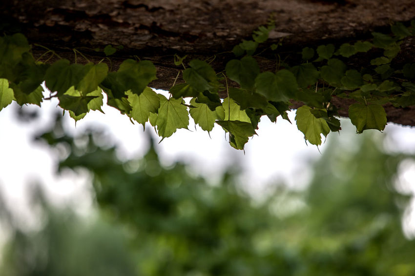 Beauty In Nature Beginnings Botany Ceiling Close-up Day Focus On Foreground Fragility Freshness Green Green Color Growth Ivy Leaf Leaves Lush Foliage Nature No People Outdoors Plant Selective Focus Seonyudo Tranquility Tree