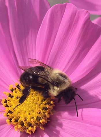 Life necessity Flower Insect Petal Close-up Beauty In Nature Pollination Pink Color Bee Nature Blacksburg