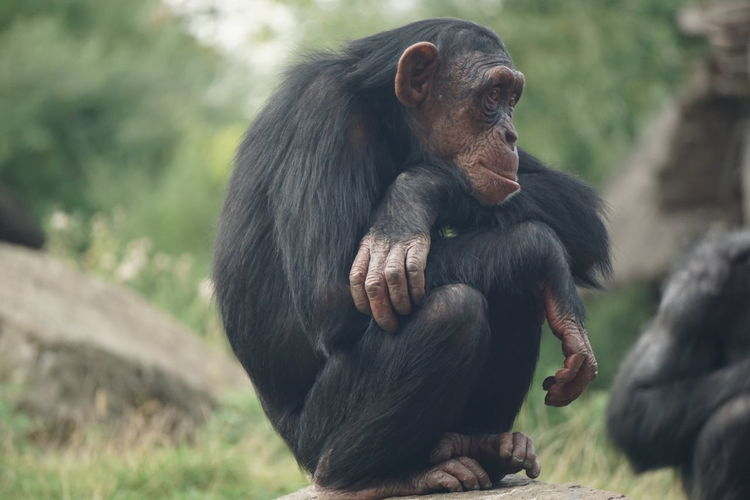 Close-up of chimpanzees on field