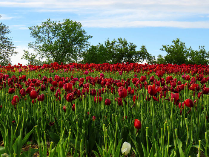 Field covered of red tulips with a beautiful blue sky and trees Beauty In Nature Cloud - Sky Day Environment Field Flower Flower Head Flowerbed Flowering Plant Fragility Freshness Green Color Growth Land Landscape Nature No People Outdoors Plant Red Sky Tranquility Tree Tulip Vulnerability