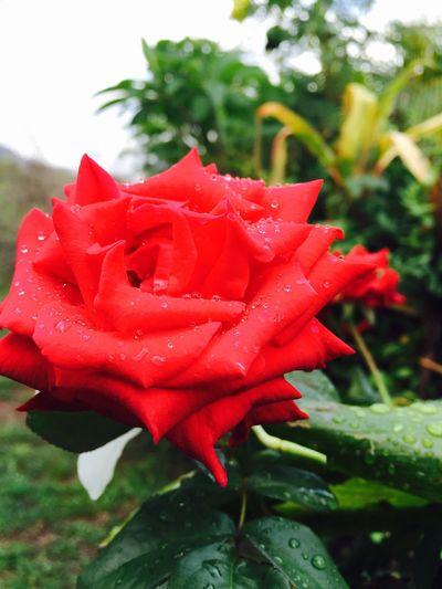 Rosa 🌹🌹