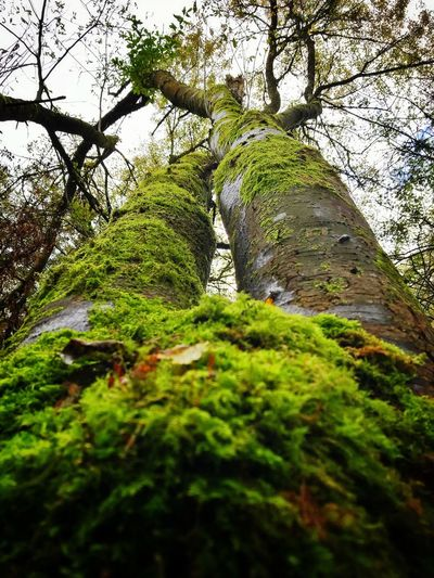 Moss Tree Nature Low Angle View Tree Trunk Forest Green Color Outdoors Beauty In Nature Tranquility Day No People Growth Scenics Branch Sky Legs Relaxing View Perspectives On Nature
