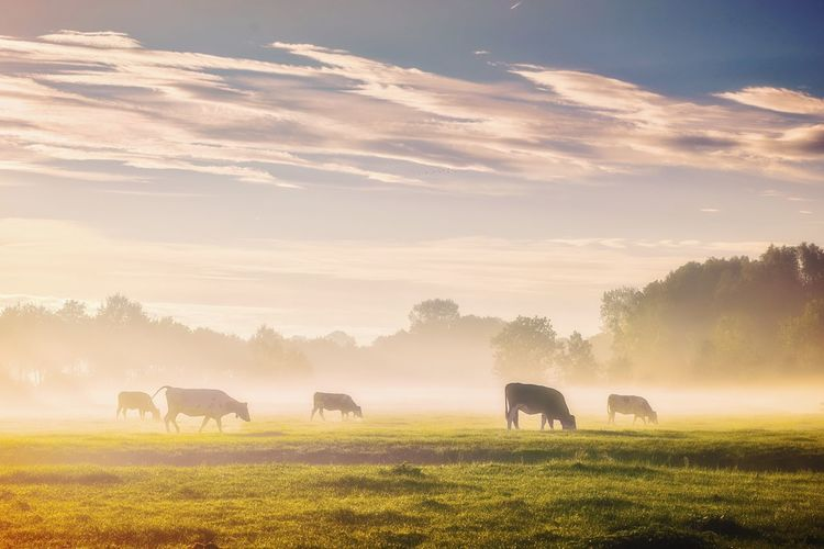 EyeEm Selects Animal Wildlife Nature Animal Mammal Landscape Outdoors Fog Sky Grazing Grass Cloud - Sky Agriculture Beauty In Nature Animal Themes Day