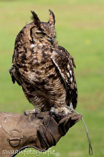 Afrikaanse Oehoe UIL Owl Bird Eyeem Natur Lover EyeEm Best Shots Enjoying Life Swaanfotografie Pets Corner