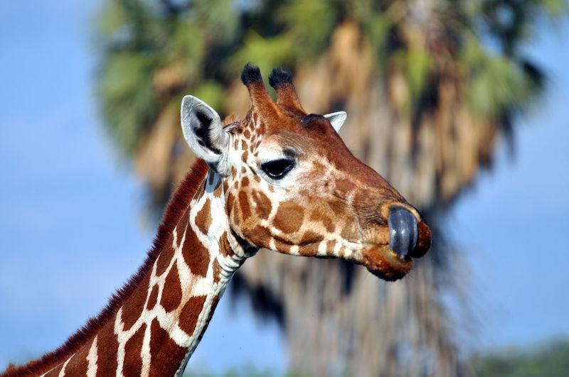 giraffe licking lips