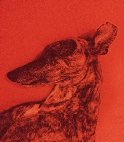 menace Dog Greyhound Portrait