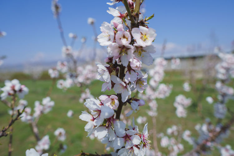 Flowering Plant Flower Freshness Fragility Plant Vulnerability  Growth Beauty In Nature Blossom Tree Close-up Springtime Nature Day Branch No People Focus On Foreground Petal Twig Cherry Blossom Outdoors Flower Head Cherry Tree Bunch Of Flowers