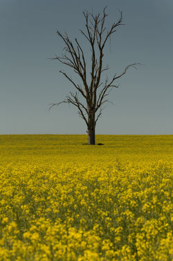 Agriculture Bare Tree Beauty In Nature Blossom Branch Canola Clear Sky Day Field Landscape Nature No People Outdoors Paddy Field Rural Scene Scenics Single Tree Sky Tranquil Scene Tranquility Tree Tree Trunk Yellow