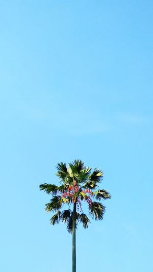 Sky Touch High Tall Palm Tree Clear Sky Bule Sky Tree Nature Plants Tree Palm Tree Clear Sky Blue Flower Summer Sky Close-up #urbanana: The Urban Playground Be Brave Summer In The City EyeEmNewHere In Bloom Pollen Coconut Palm Tree Urban Scene Blooming Fruit Tree Tropical Tree Coconut