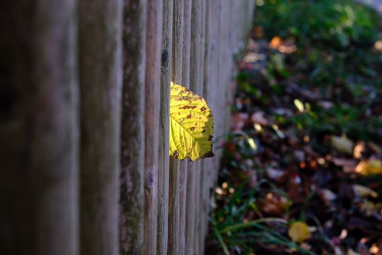 Fence Yellow Plant No People Close-up Selective Focus Nature Day Wood - Material Focus On Foreground Leaf Plant Part Autumn