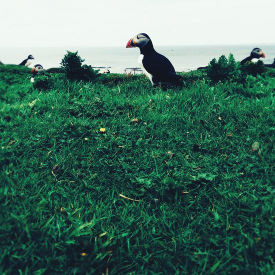 Puffins CliffEdge Like Likeforlike Like4like Photogenic  Follow4follow Followforfollow Photography Animals In The Wild Nature Photography Naturelovers Animal Portrait Bird Photography Check This Out Grey Sky Green Grass The Great Outdoors - 2016 EyeEm Awards The Portraitist - 2016 EyeEm Awards