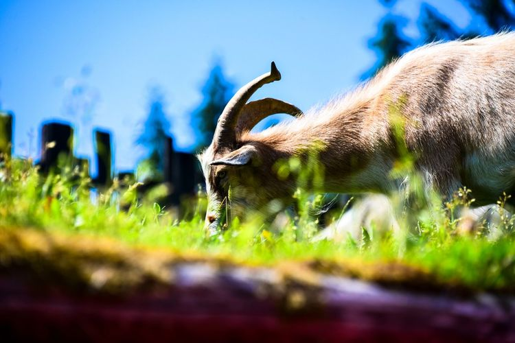 British Columbia, Canada EyeEm Goat Goats Nikon Roof Rooftop Animal Animal Themes Animal Wildlife Canada Day Domestic Animals Grass Land Mammal Nature No People One Animal Outdoors Pets Plant Selective Focus Vancouver Island Vertebrate