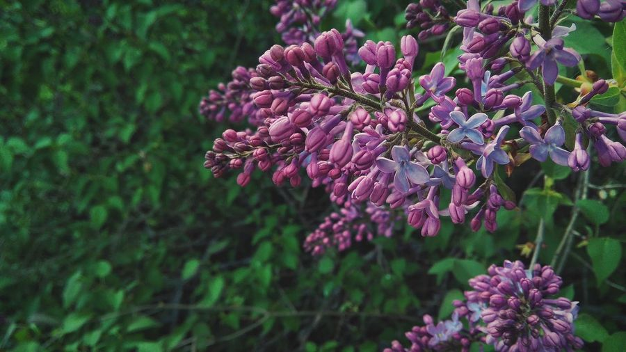 Close-up of purple lilacs blooming outdoors