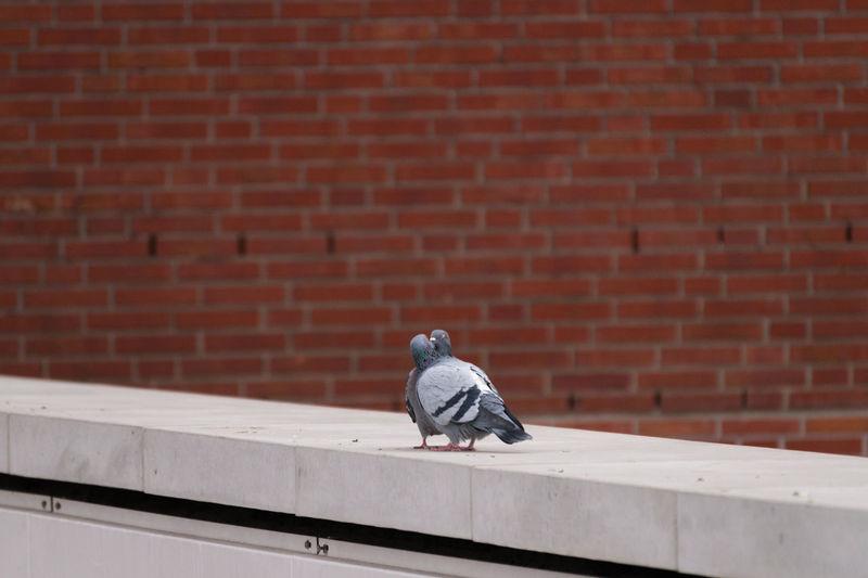 Pigeons kissing on retaining wall
