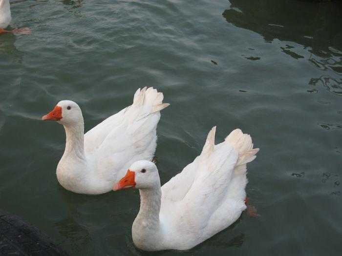 Goose Ada Ciganlija Belgrade Water Bird Animal Animal Wildlife Lake Swimming Water Bird White Color Couples❤❤❤ Couple Animal Themes No People