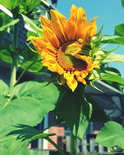 Inbloom Sunflowers🌻 Nature_collection