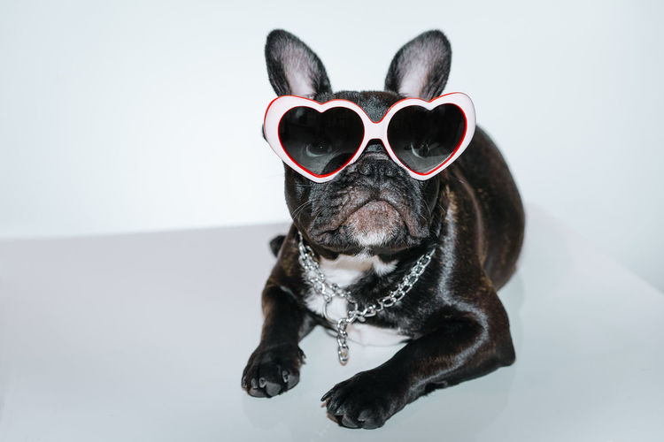 Zero. Sunglasses Frenchie Frenchbulldog Pets Portrait Disguise Dog Eyeglasses  Studio Shot Looking At Camera Humor Sunglasses French Bulldog Puppy Pet Collar Bulldog Canine Pet Equipment