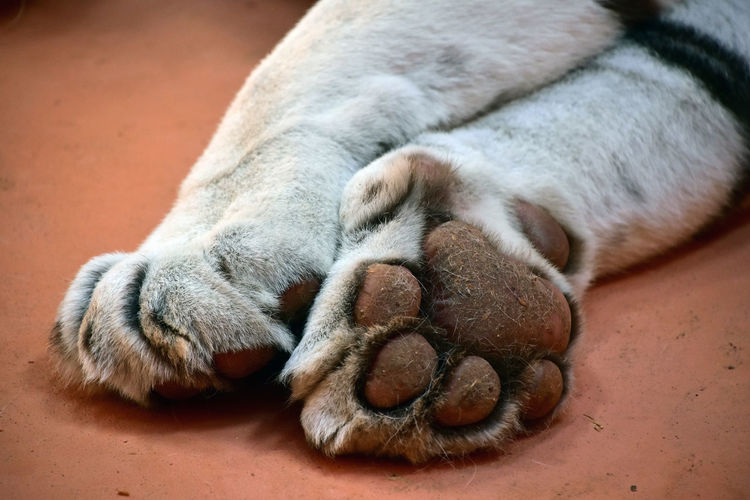 Cropped image of legs of white tiger