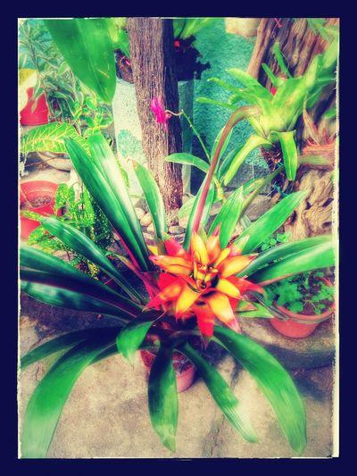 Plants 🌱 Plants And Flowers Edit Mine In My Garden Bromelias