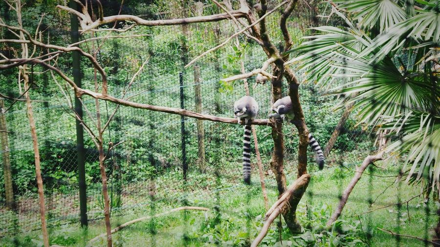 Animal Wildlife Lemurs On Tree Holiday Paigntonzoo Devon