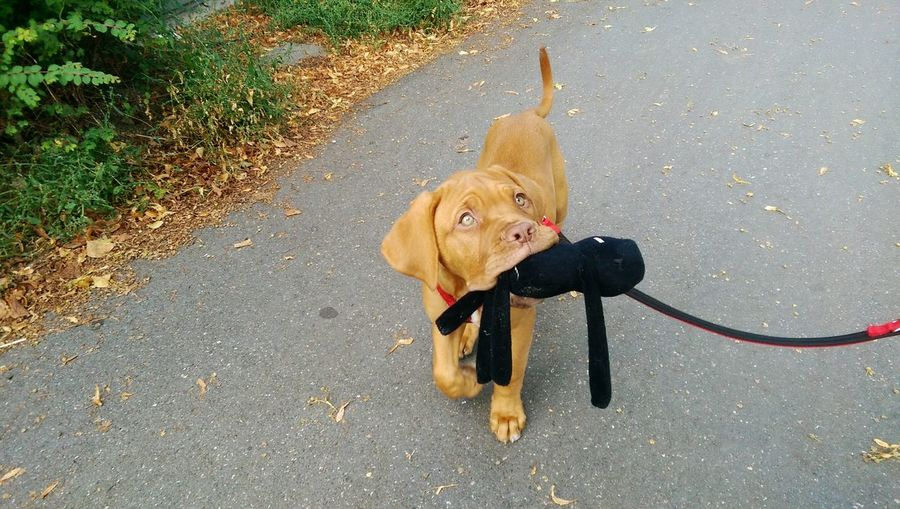 Chocolate labrador puppy carrying pet leash in mouth on street
