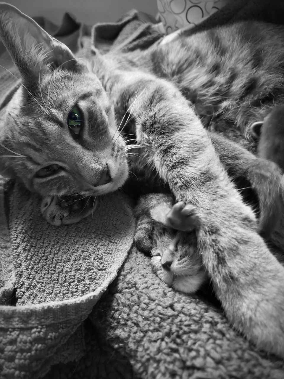 pets, mammal, cat, domestic, domestic animals, domestic cat, feline, one animal, animal, animal themes, relaxation, vertebrate, looking at camera, portrait, indoors, no people, furniture, lying down, close-up, whisker, tabby