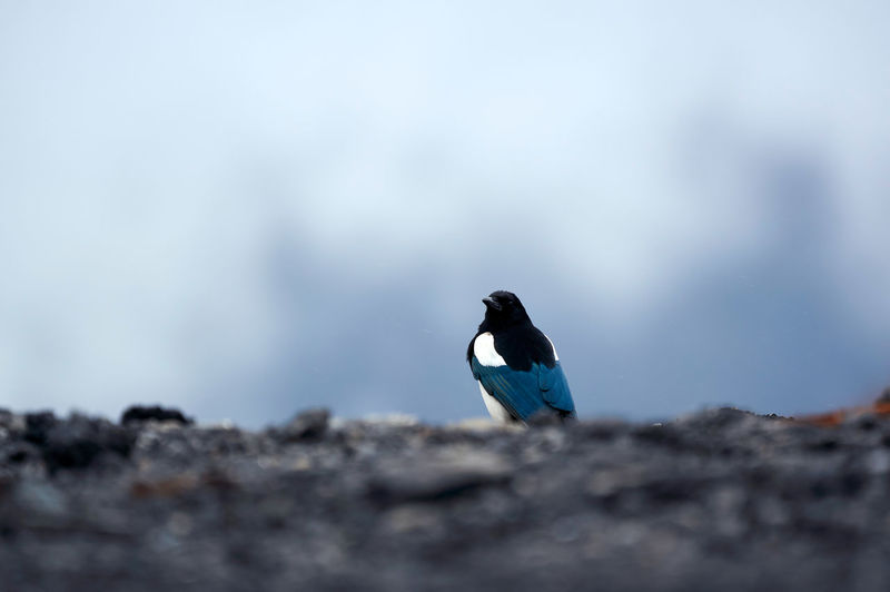 Bird in the wild Nature Beauty In Nature Bird Bird Photography Cloud Fog Clouds And Sky Outdoors Day Magpie Magpie Bird Animal Animal Themes One Animal Animal Wildlife Animals In The Wild Vertebrate Selective Focus No People Perching Sky Side View Close-up Environment At The Edge Of