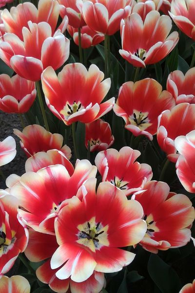 Flower Beauty In Nature Red Petal Flower Head Plant Day Nature Freshness Keukenhof Tulips Spring Netherlands Holland Lovely Fragility Growth Close-up No People Backgrounds Full Frame Outdoors