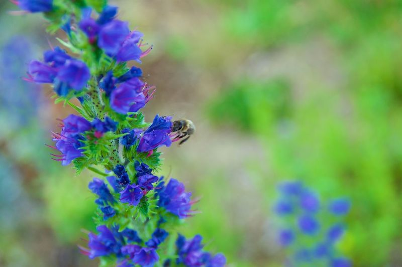 Bee at Work ... Animal Themes Animal Wildlife Animals In The Wild Beauty In Nature Bee Close-up Day Flower Fragility Growth Insect Nature No People One Animal Outdoors Plant Purple